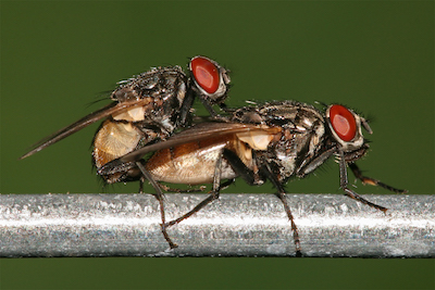 Housefly_mating